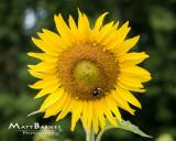 Dr. Wolff's Sunflowers-0068_8x10.JPG