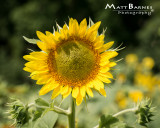 Dr. Wolff's Sunflowers-0077_8x10.JPG