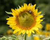 Dr. Wolff's Sunflowers-0082_8x10.JPG