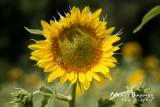 Dr. Wolff's Sunflowers-0097_4x6.JPG