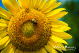 Dr. Wolff's Sunflowers-0106_4x6.JPG