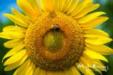 Dr. Wolff's Sunflowers-0109_4x6.JPG