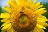 Dr. Wolff's Sunflowers-0114_4x6.JPG
