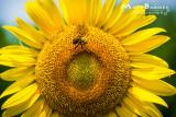 Dr. Wolff's Sunflowers-0116_4x6.JPG