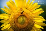 Dr. Wolff's Sunflowers-0118_4x6.JPG