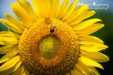 Dr. Wolff's Sunflowers-0119_4x6.JPG