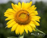 Dr. Wolff's Sunflowers-0122_8x10.JPG