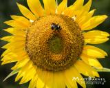 Dr. Wolff's Sunflowers-0131_8x10.JPG