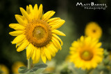 Dr. Wolff's Sunflowers-0145_4x6.JPG