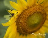 Dr. Wolff's Sunflowers-0157_8x10.JPG