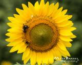 Dr. Wolff's Sunflowers-0159_8x10.JPG
