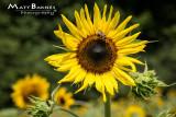 Dr. Wolff's Sunflowers-0197_4x6.JPG