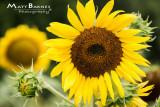 Dr. Wolff's Sunflowers-0212_4x6.JPG