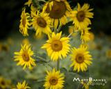 Dr. Wolff's Sunflowers-0227_8x10.JPG