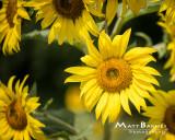 Dr. Wolff's Sunflowers-0235_8x10.JPG