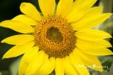 Dr. Wolff's Sunflowers-0239_4x6.JPG