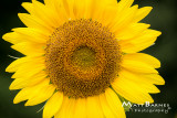 Dr. Wolff's Sunflowers-0248_4x6.JPG