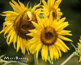 Dr. Wolff's Sunflowers-0262_8x10.JPG