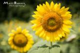 Dr. Wolff's Sunflowers-0270_4x6.JPG