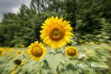 Dr. Wolff's Sunflowers-0285_4x6.JPG
