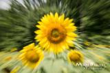Dr. Wolff's Sunflowers-0288_4x6.JPG