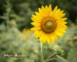 Dr. Wolff's Sunflowers-0293_8x10.JPG