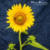 Dr. Wolff's Sunflowers-0305_1x1.JPG