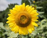 Dr. Wolff's Sunflowers-0315_8x10.JPG