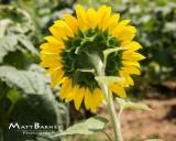 Dr. Wolff's Sunflowers-0326_8x10.JPG