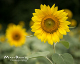 Dr. Wolff's Sunflowers-0331_8x10.JPG