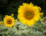 Dr. Wolff's Sunflowers-0338_8x10.JPG