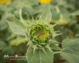 Dr. Wolff's Sunflowers-0346_8x10.JPG