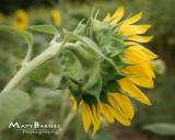Dr. Wolff's Sunflowers-0350_8x10.JPG