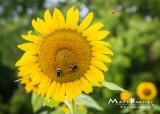 Dr. Wolff's Sunflowers-0354_5x7.JPG