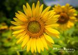 Dr. Wolff's Sunflowers-0358_5x7.JPG