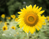 Dr. Wolff's Sunflowers
