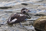 Diving Duck on Collingwood Harbour