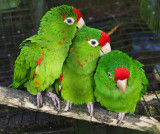Panamanian Parrots - You scratch my back and I'll.....