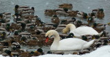 Swans and Ducks - Winter Friends