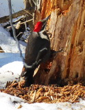 Pileated Woodpecker P1000267.JPG