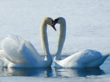 Swans - it's Spring!! P1000412