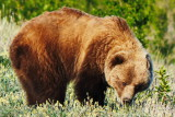 Grizzly Bear in Kluane National Park - June 10, 2014