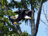 Eagle on the Beaver River - Aug 24 2014 P1100212.JPG
