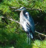 Great Blue Heron - Go Home Lake - Muskoka (Sept. 2014) P1120845.JPG