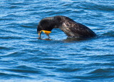 Cormorant diving for a fish in Collingwood Harbour (Vestiges of prehistoric teeth?)