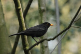 98:365blackbird in woods