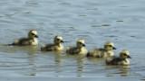 110:365five little goslings