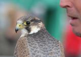 127:365captive peregrine falcon