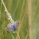 223:365 chalkhill blue butterfly