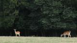 231:365distant fallow deer